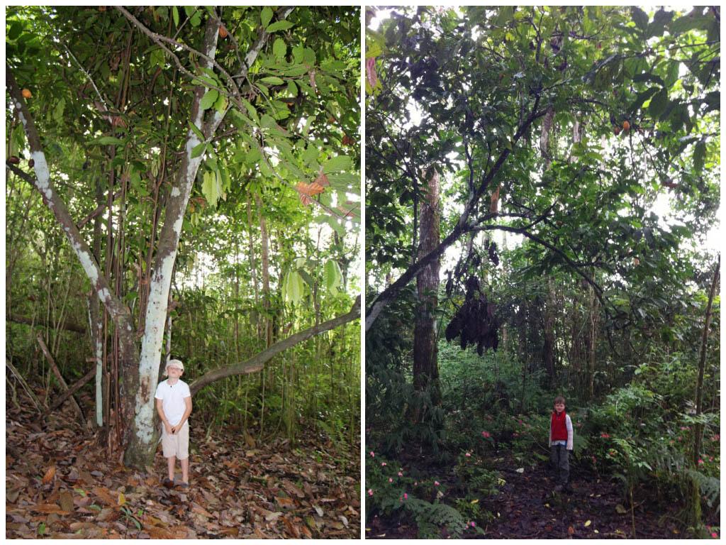 Galapagos Cacao tree