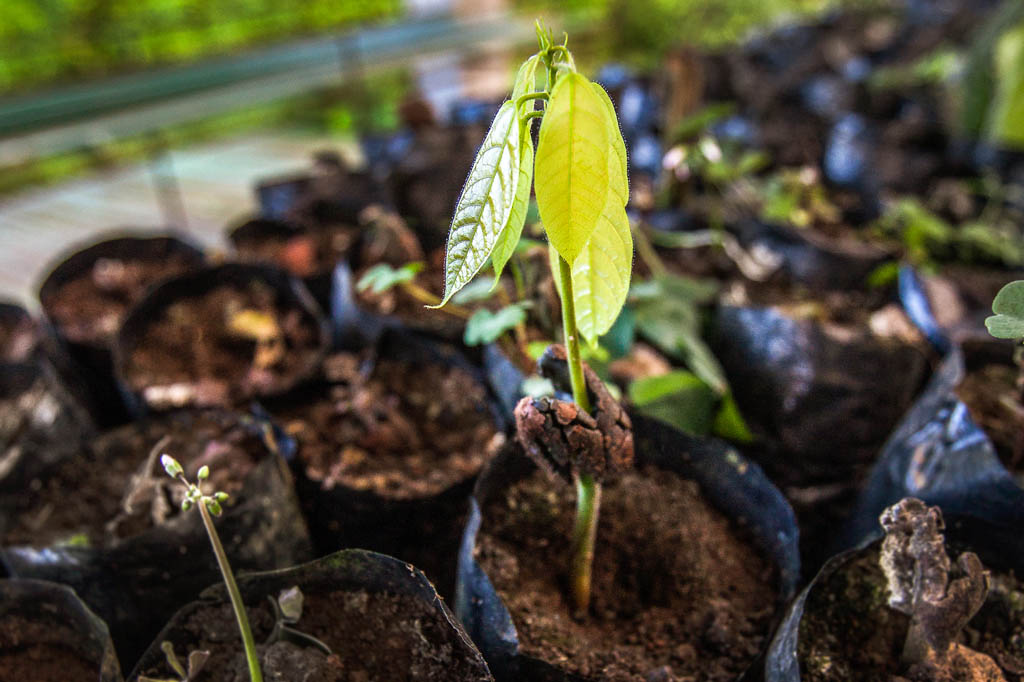 Galapagos cacao seedling